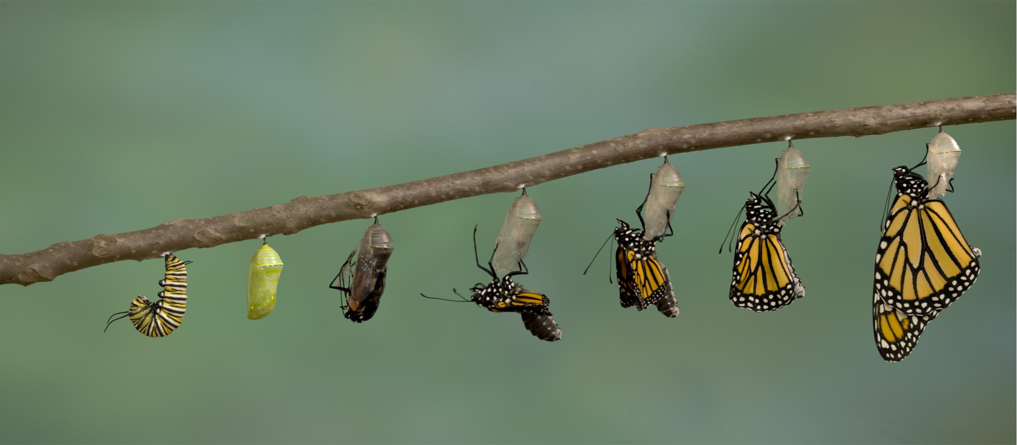 Stages of a caterpillar becoming a butterfly